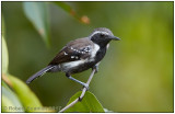white-fringed antwren.jpg