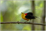 wire-tailed manakin male 1.jpg