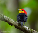 wire-tailed manakin male 3.jpg