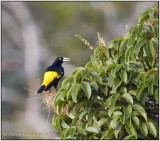 yellow-rumped cacique.jpg