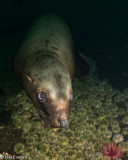 Juvenile Stellar Sea Lion and Green Urchins