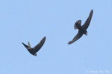 Swifts and Treeswifts