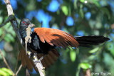 (Centropus sinensis) Greater Coucal