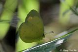 (Eurema blanda) Three-spot Grass Yellow