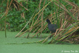 Rails, Moorhens, Crakes and Jacanas