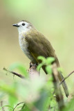 (Pycnonotus leucops)*Pale-faced Bulbul