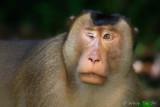 Mammal of Sabah, Borneo, Malaysia.