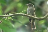 (Cyornis unicolor) Pale Blue Flycatcher ♀