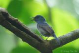 (Cyornis unicolor) Pale Blue Flycatcher ♂