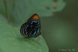 Family Riodinidae