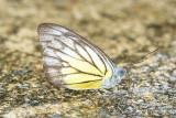 (Appias cardena) Yellow Puffin