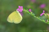 (Eurema hecabe)Common Grass Yellow