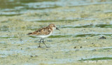 (Calidris minuta) Little Stint