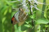 (Hebomoia glaucippe borneensis)