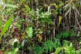 Wild Nepenthes of Sabah, Borneo, Malaysia