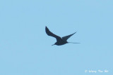 (Fregeta minor) Great Frigatebird &#9794