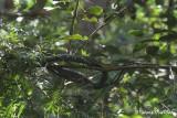 Reptile of Sabah, Borneo, Malaysia.