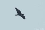 (Macheiramphus alcinus) Bat-Hawk