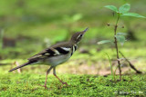 (Dendronanthus indicus)Forest Wagtail