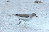 (Calidris temminckii) Temminck's Stint