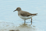 Waders (Sandpipers, Stints, Godwits, Curlews, Tattlers and Snipes)