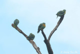 Green Pigeons, Doves and Pigeons