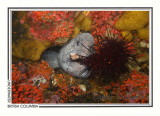 263 Wolf-eel (Anarrhichthys ocellatus), Grouse Island, Campbell River area