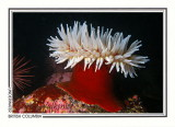 266 Fish-eating anemone (Urticina piscivora), Folger Island, Barkley Sound