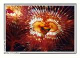 271 Calcareous tubeworm (Serpula columbiana), Seymour Inlet