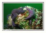 272 Purple stars (Pisaster ochraceus), Skookumchuck Narrows, Sechelt Inlet