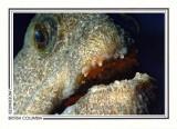274 Wolf-eel (Anarrhichthys ocellatus), Breakwater Island, Gabriola Island