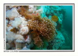278 Pink-mouth hydroids (Ectopleura crocea), Rock of Life, Browning Passage