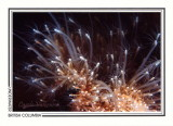 291 Hedgehog hydroid (Clavactinia milleri), Stubbs Island