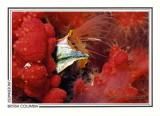 304 Giant acorn barnacle (Balanus nubilus), Browning Passage, Queen Charlotte Strait