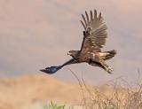 predatory Birds.
