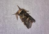 Macro moths