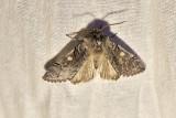 VårtaggflyRannoch SprawlerBrachionycha nubeculosa