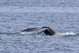 KnölvalHumpback WhaleMegaptera novaeangliae