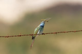 Grön dvärgbiätareGreen Bee-eaterMerops orientalis cyanophrys