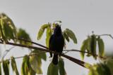PalestinasolfågelPalestine SunbirdCinnyris osea