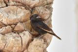 SinaiglansstareTristram's StarlingOnychognathus tristramii