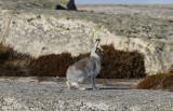 SkogshareEurasian Arctic HareLepus timidus