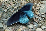 Pipevine Swallowtail 3
