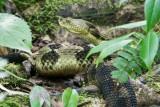 Timber Rattlesnake 7