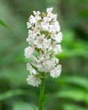 Small Purple Fringed Orchid - white variety