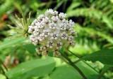 Redring Milkweed 1