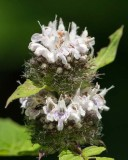 Hairy Wood Mint 1