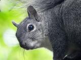 Paradise Squirrel