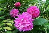 Sophie's Rose