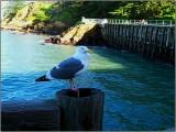 SF Gull 2007
